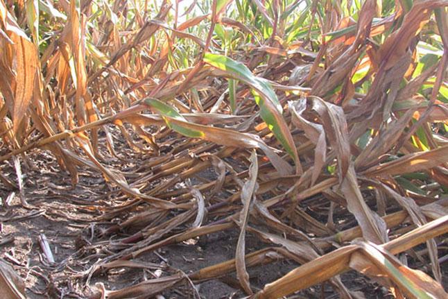 lodged_corn_plants
