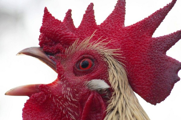 rooster crowing face close-p