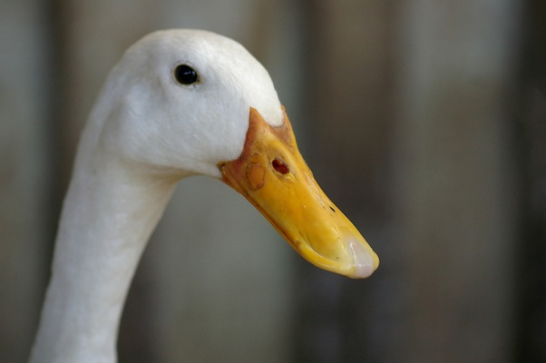 white duck head (alive)