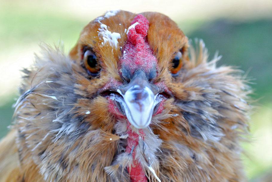 chicken eating cream