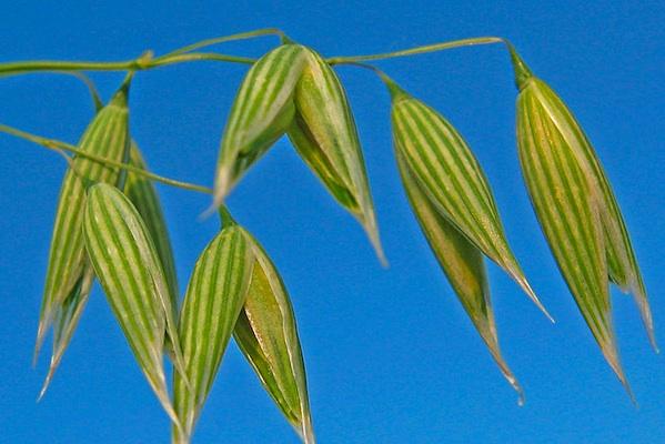 macro oats plant