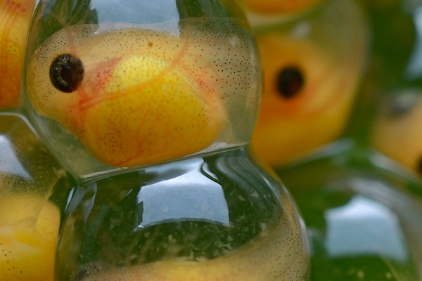 close up, macro, frog eggs