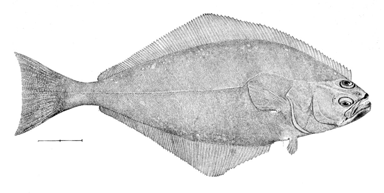 atlantic-halibut