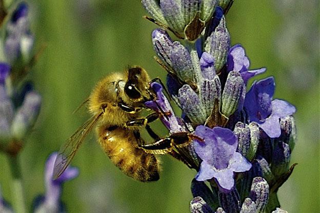 honeybee on a purple flower