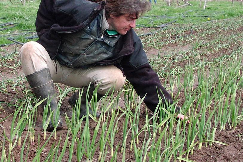 farming garlic