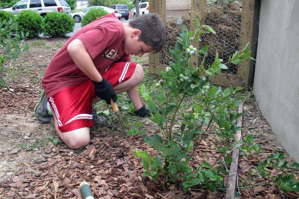 kids weeding blueberry bushes