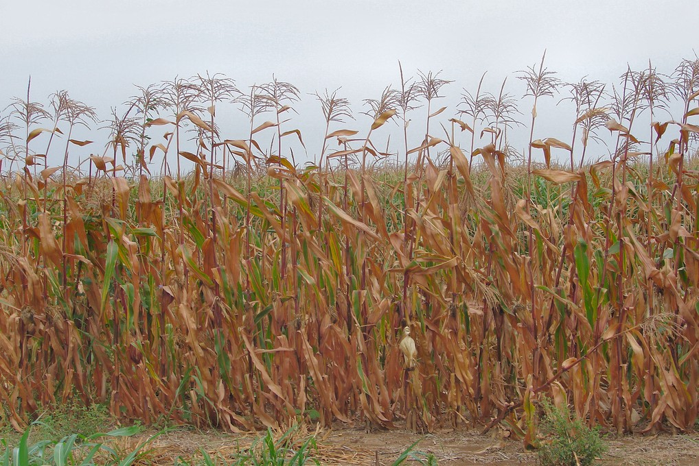 Dead corn plants turning brown in the sun.