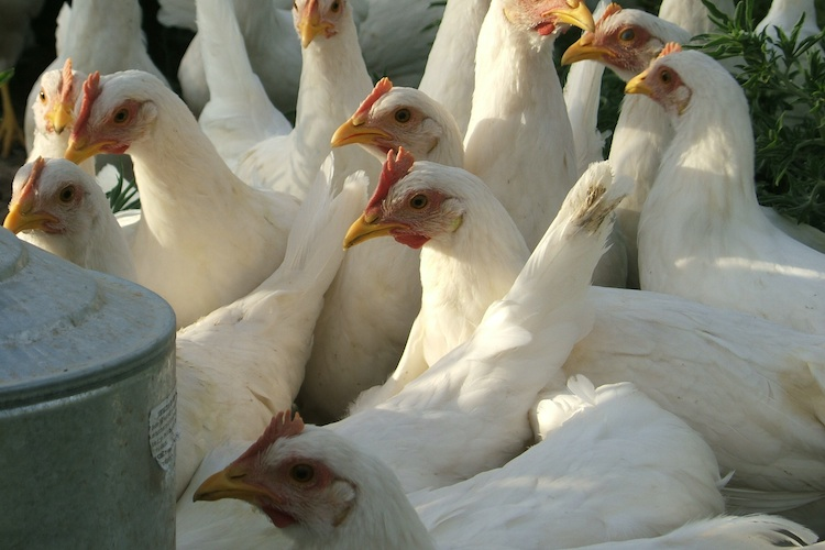 Close up chicken flock thirsty water
