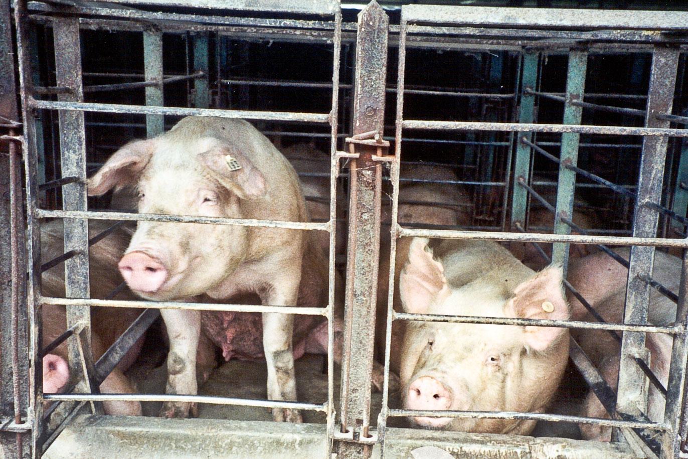 pork gestation crates