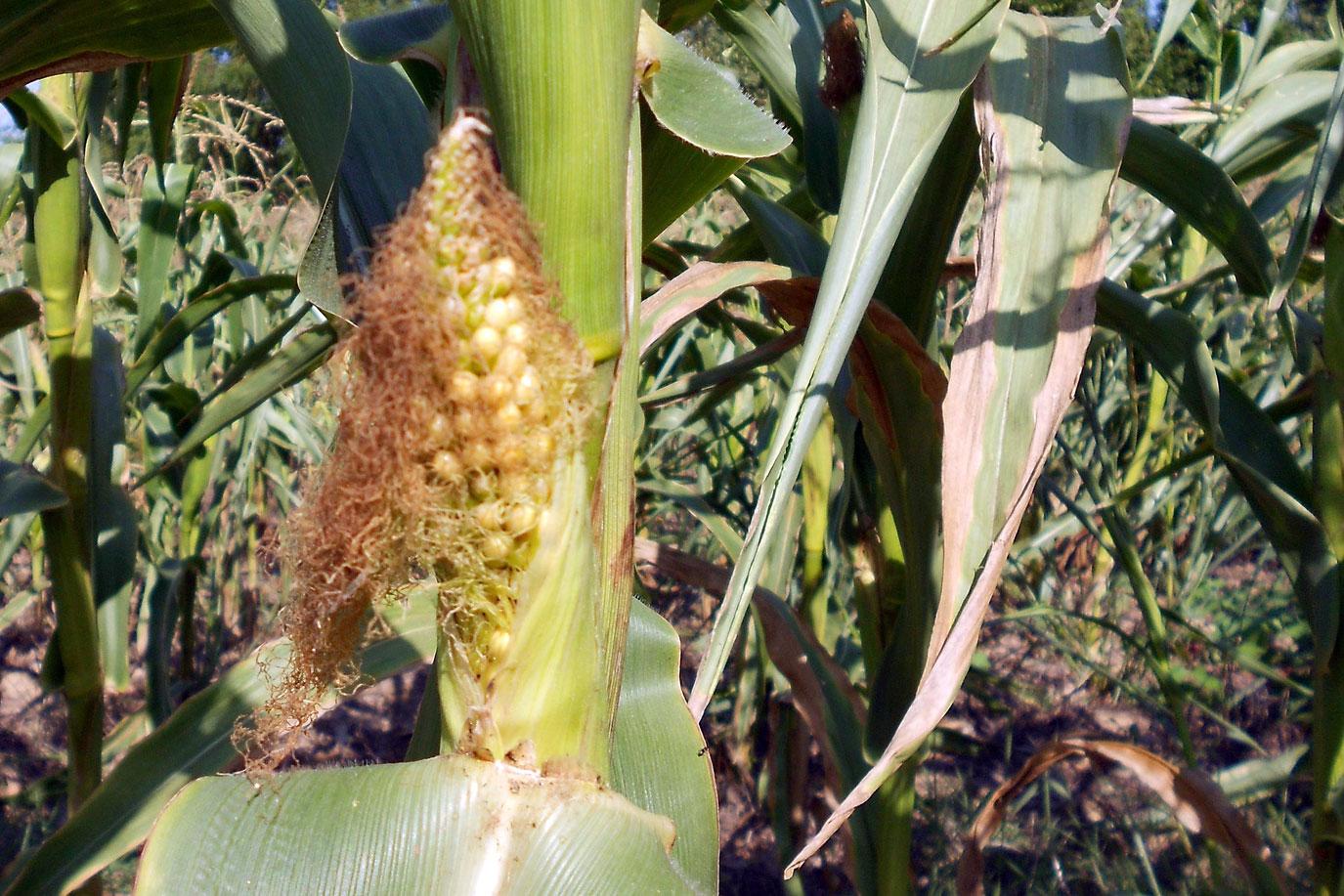 drought-stressed corn