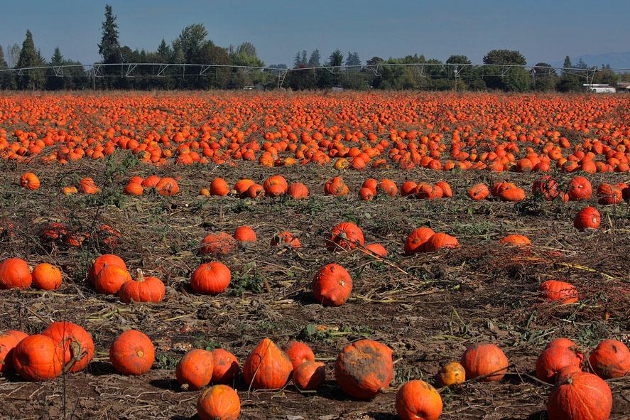 A field of orange pumpkins over dry ground.
