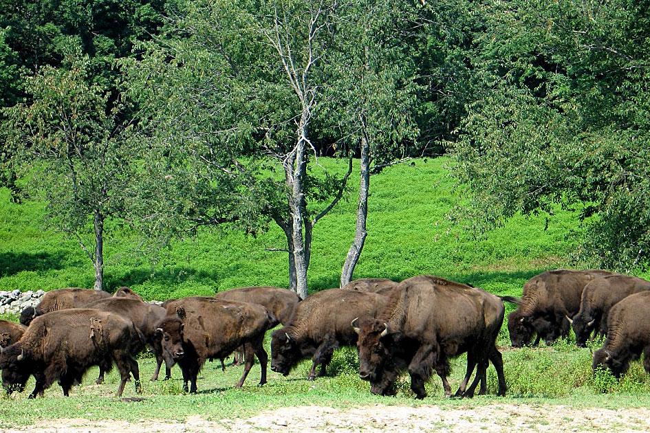 bison-farm