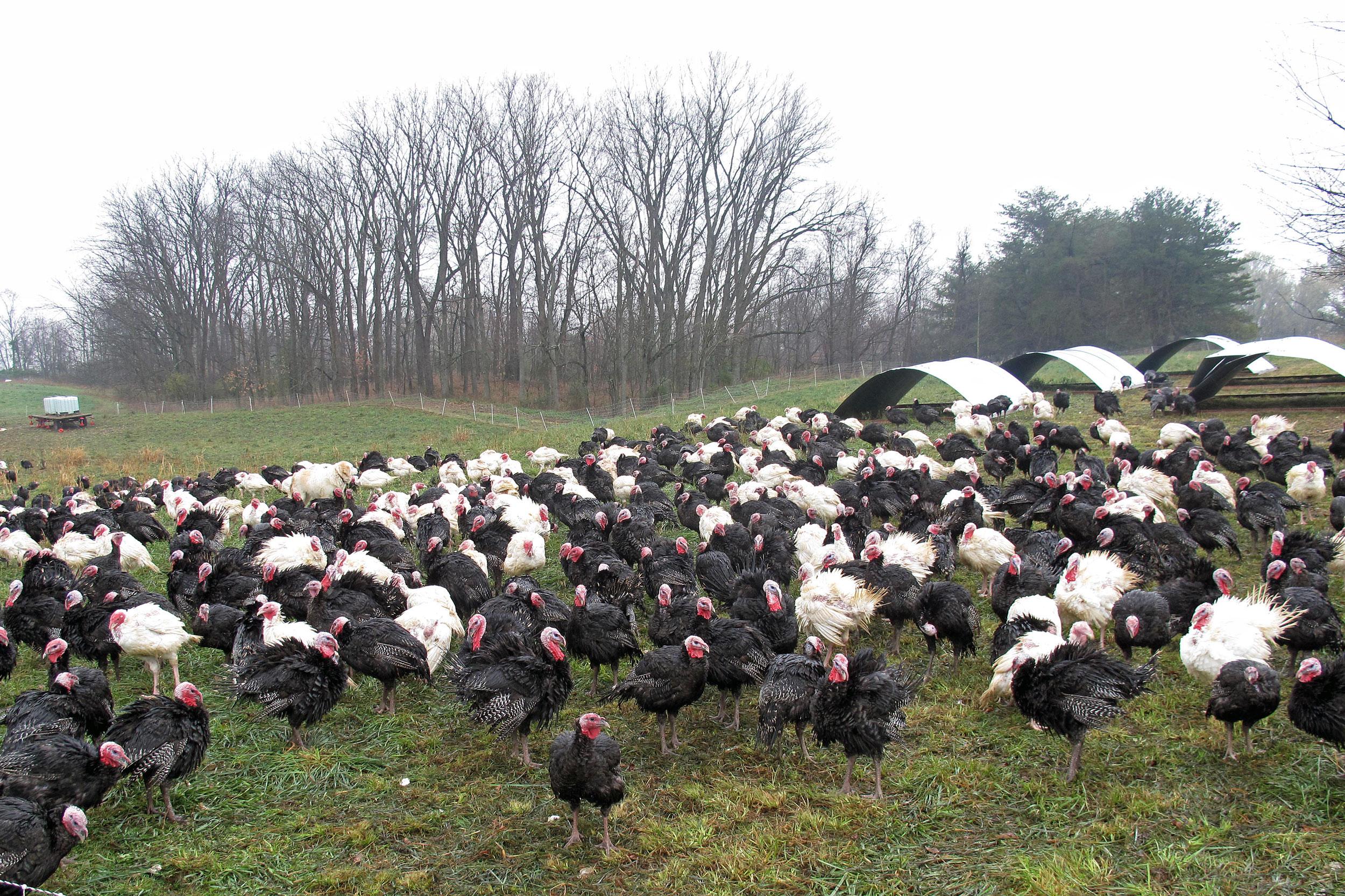 900 turkeys at Schacht Farm