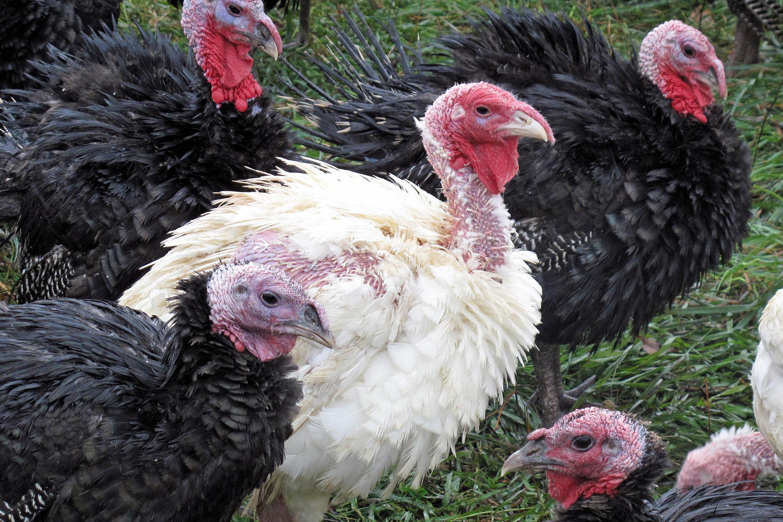 two breeds of turkeys