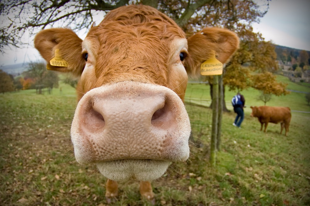 A brown cow with both ears tagged sniffs curiously at the camera lens.