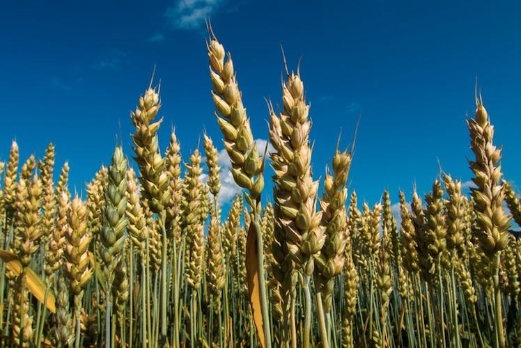 greenish gold wheat stocks in a field under cerulean skies