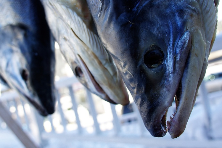 The heads of three fish hung up by their tails