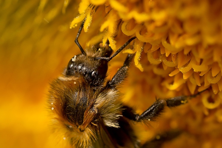 Macro shot of a bee gathering nectar from a yellow flower