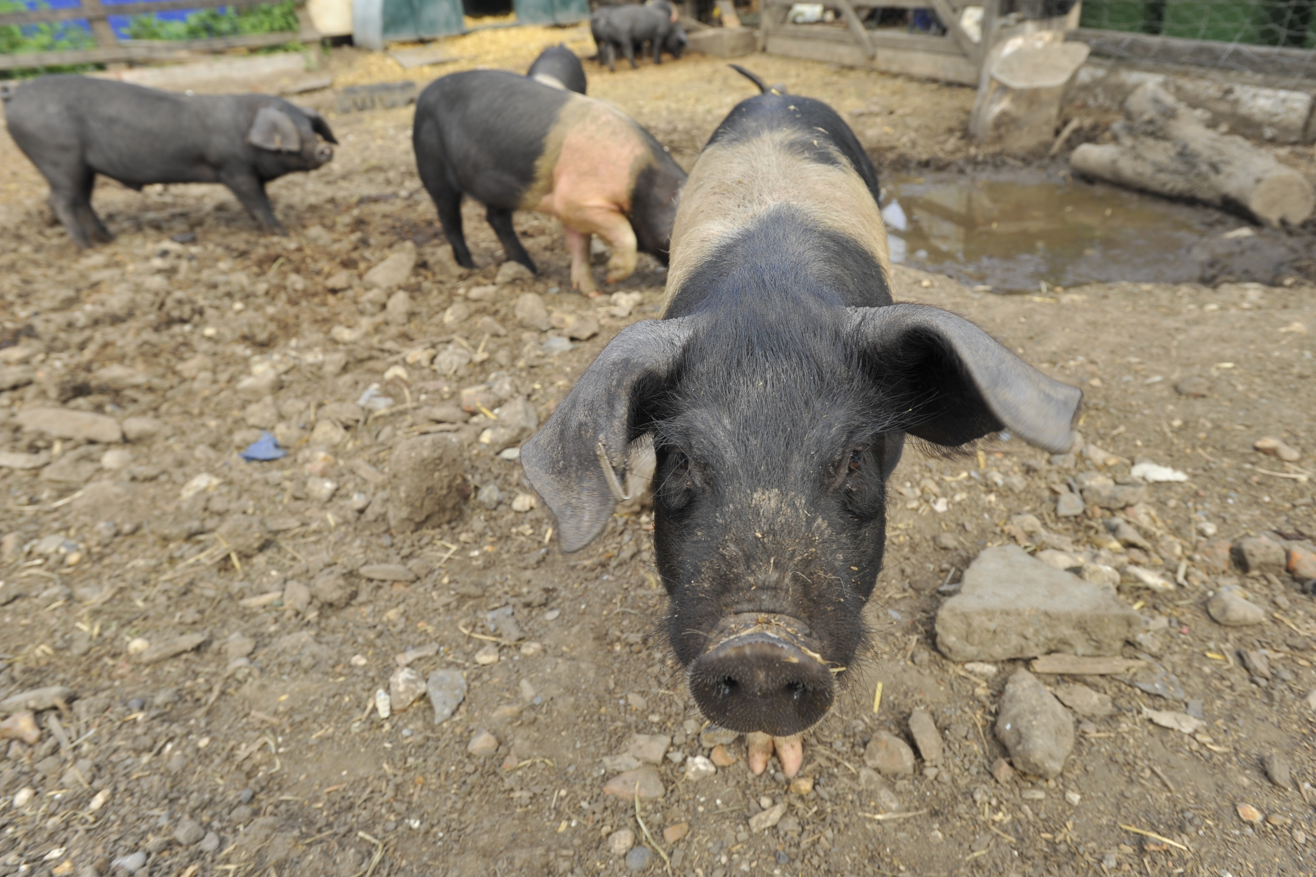 Pigs rooting for food scraps