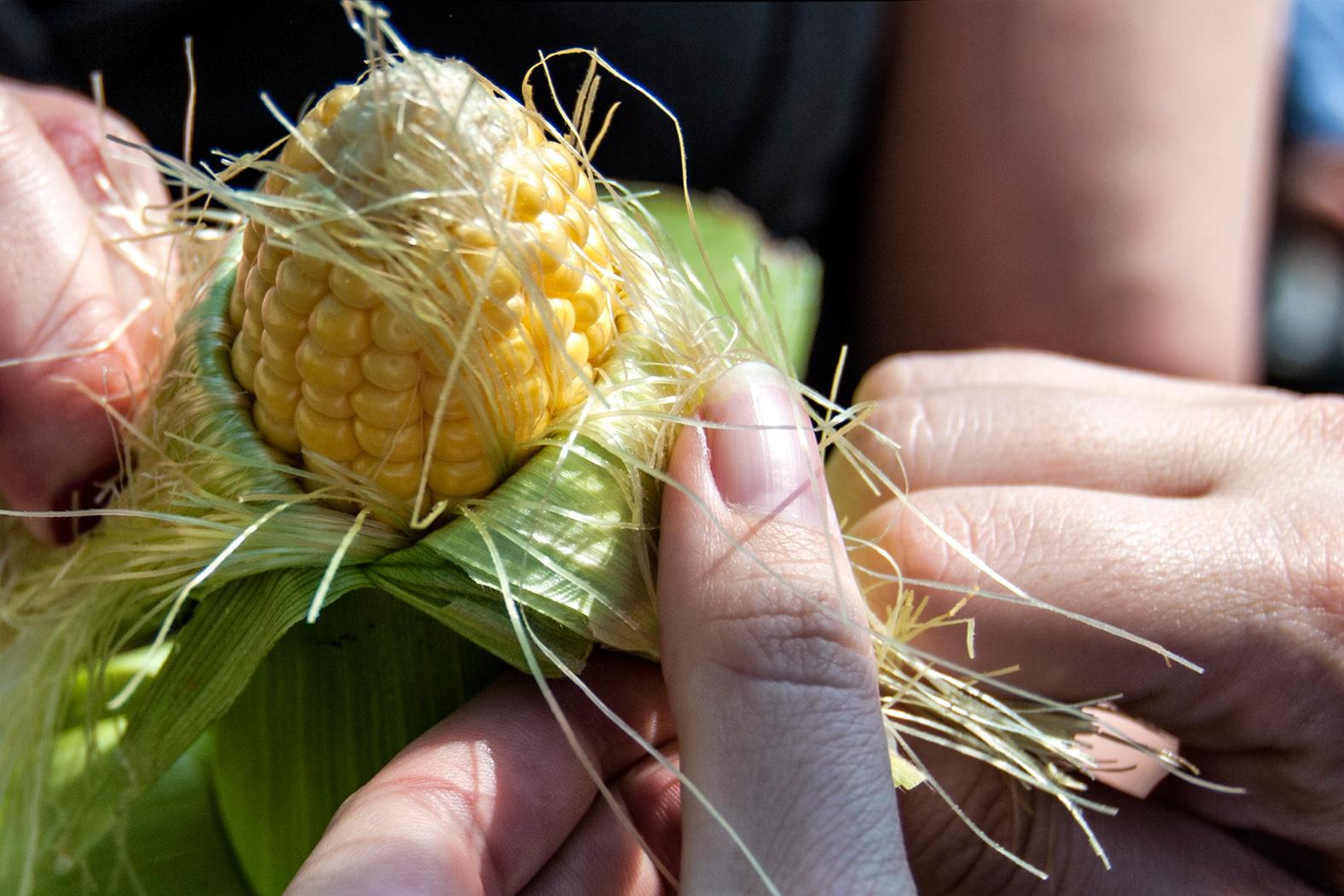 Peeling back the husk of an ear of corn at a farmer's market.