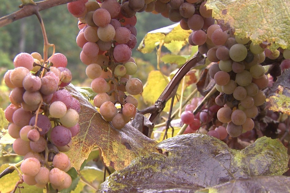 Oliver Winery may lose many of their grapes this year.