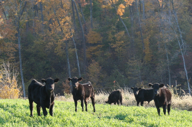 cows grazing in a field in the fall