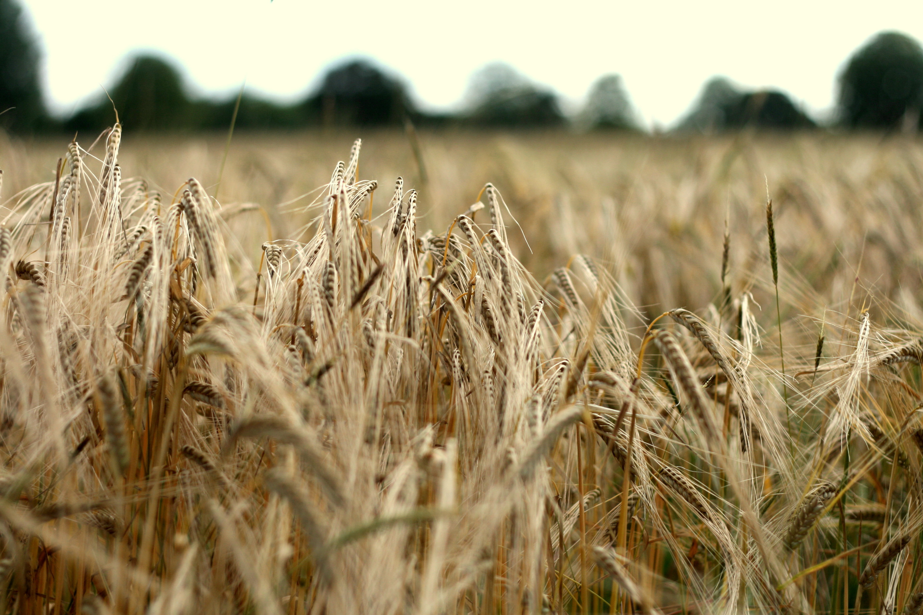 Wheat bending in the wind