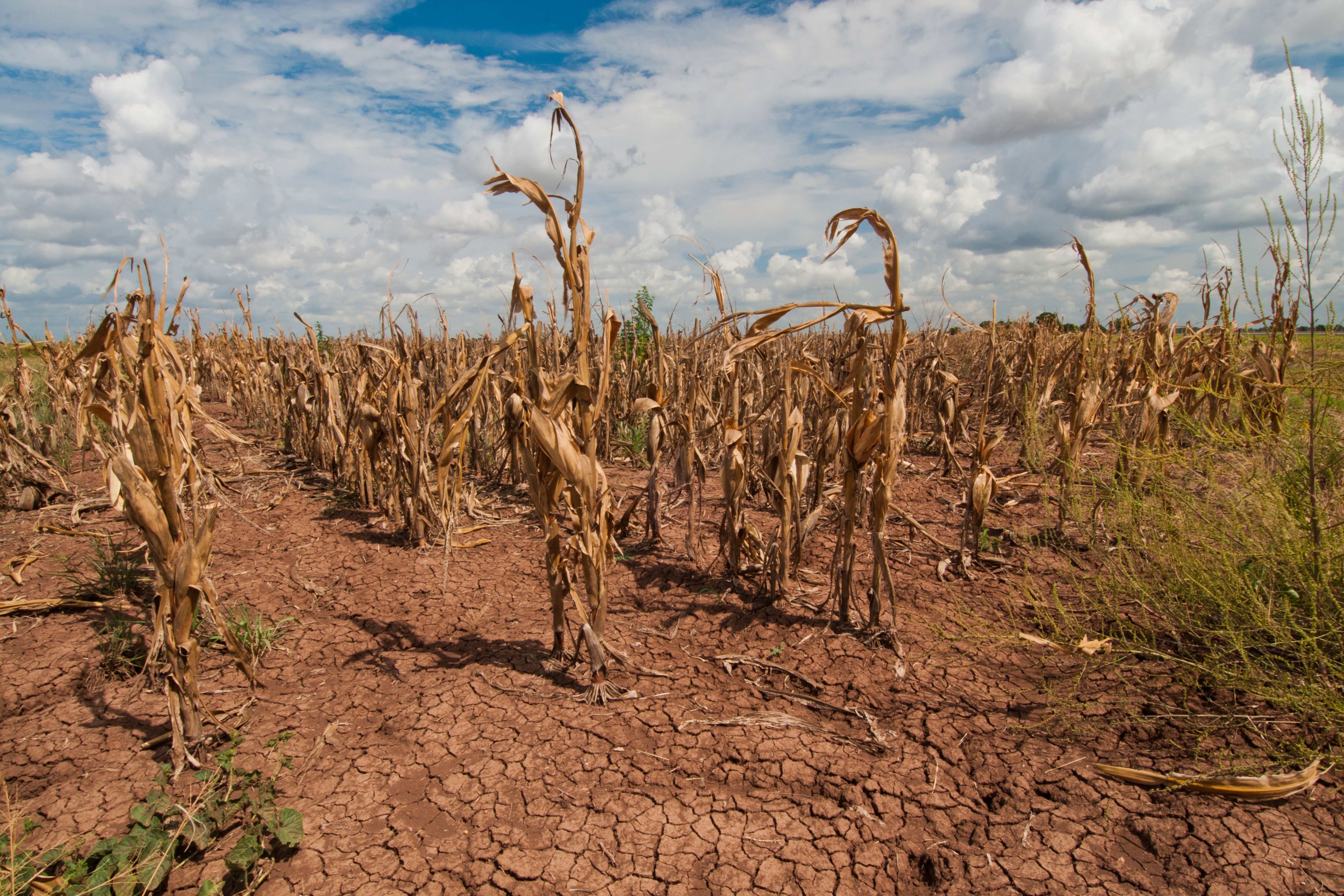 A corn field in Texas withers from drought
