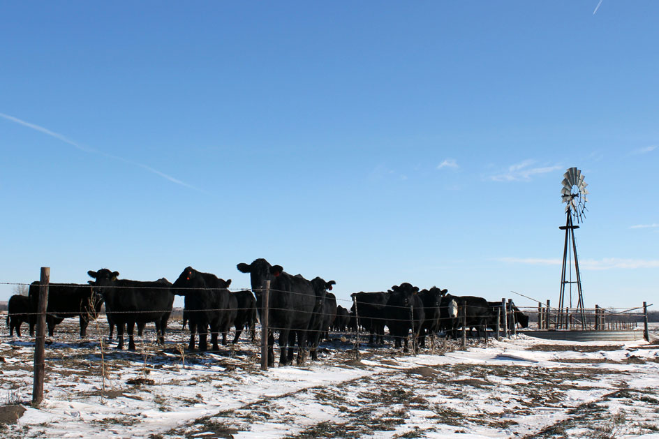 cows in a snowy pasture