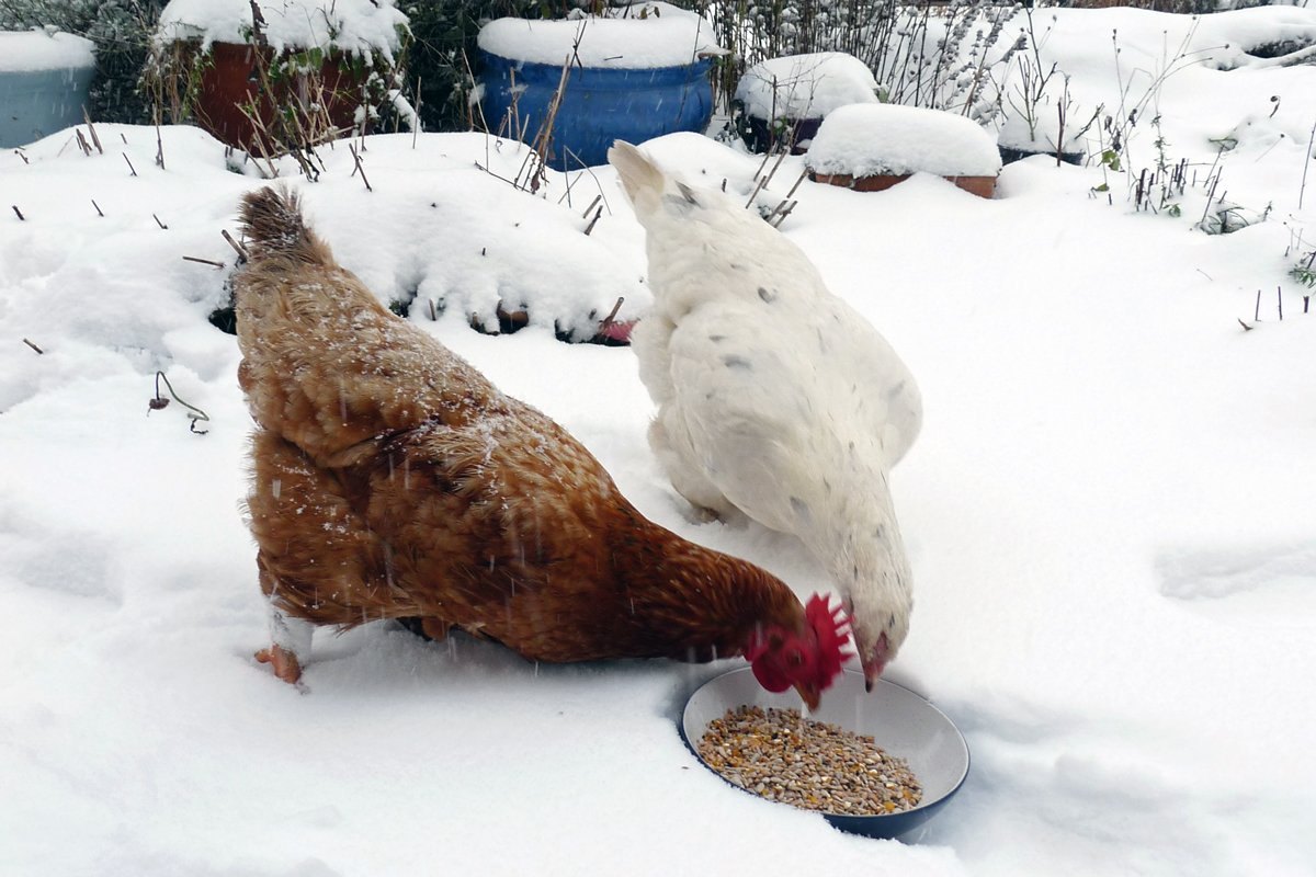 chickens eating out of a bowl in the snow