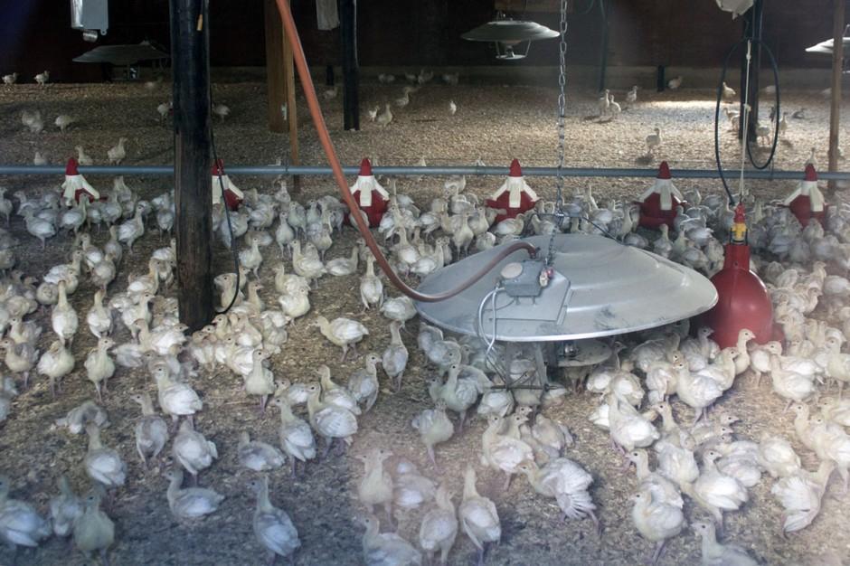 Baby turkeys in barn