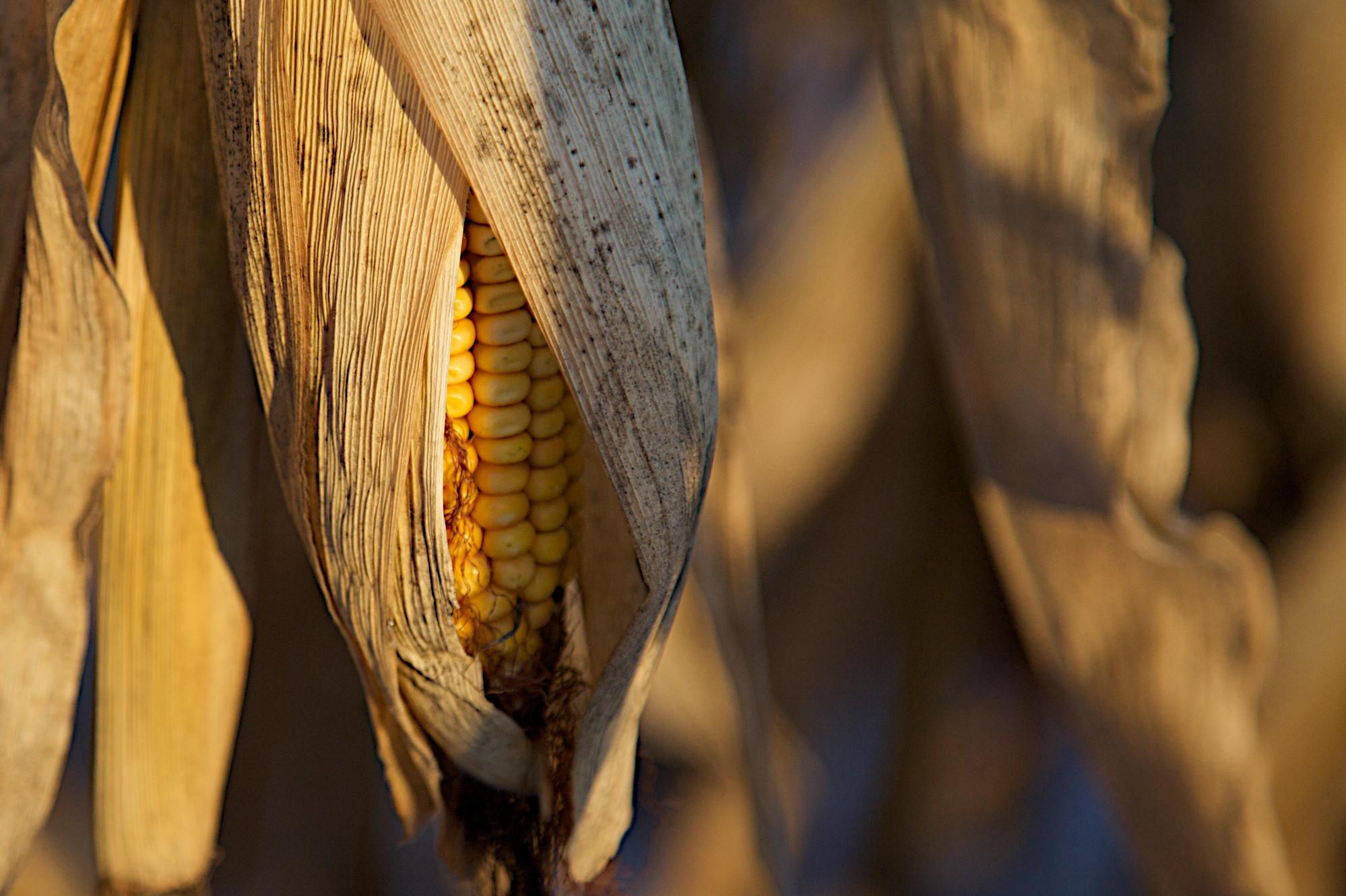 Ears of corn hang on stalks