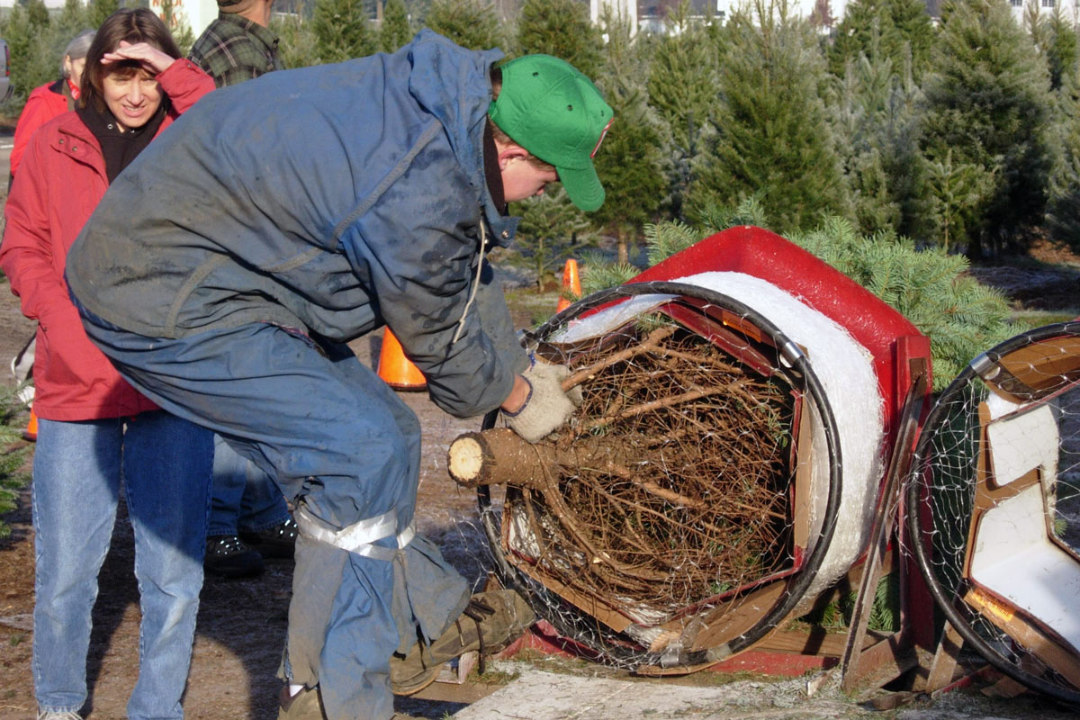 packing up fresh-cut Christmas tree