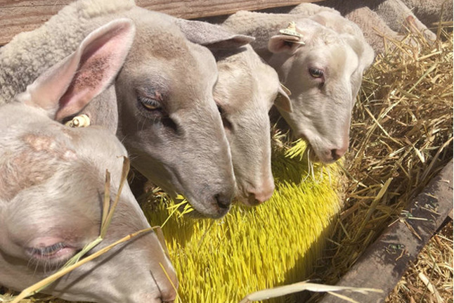 sheep eating sprouts