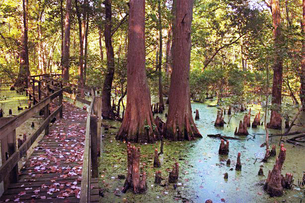 Cypress tress in wetlands