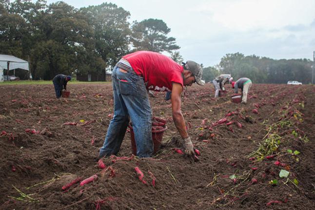 farmers in a sweet potato field