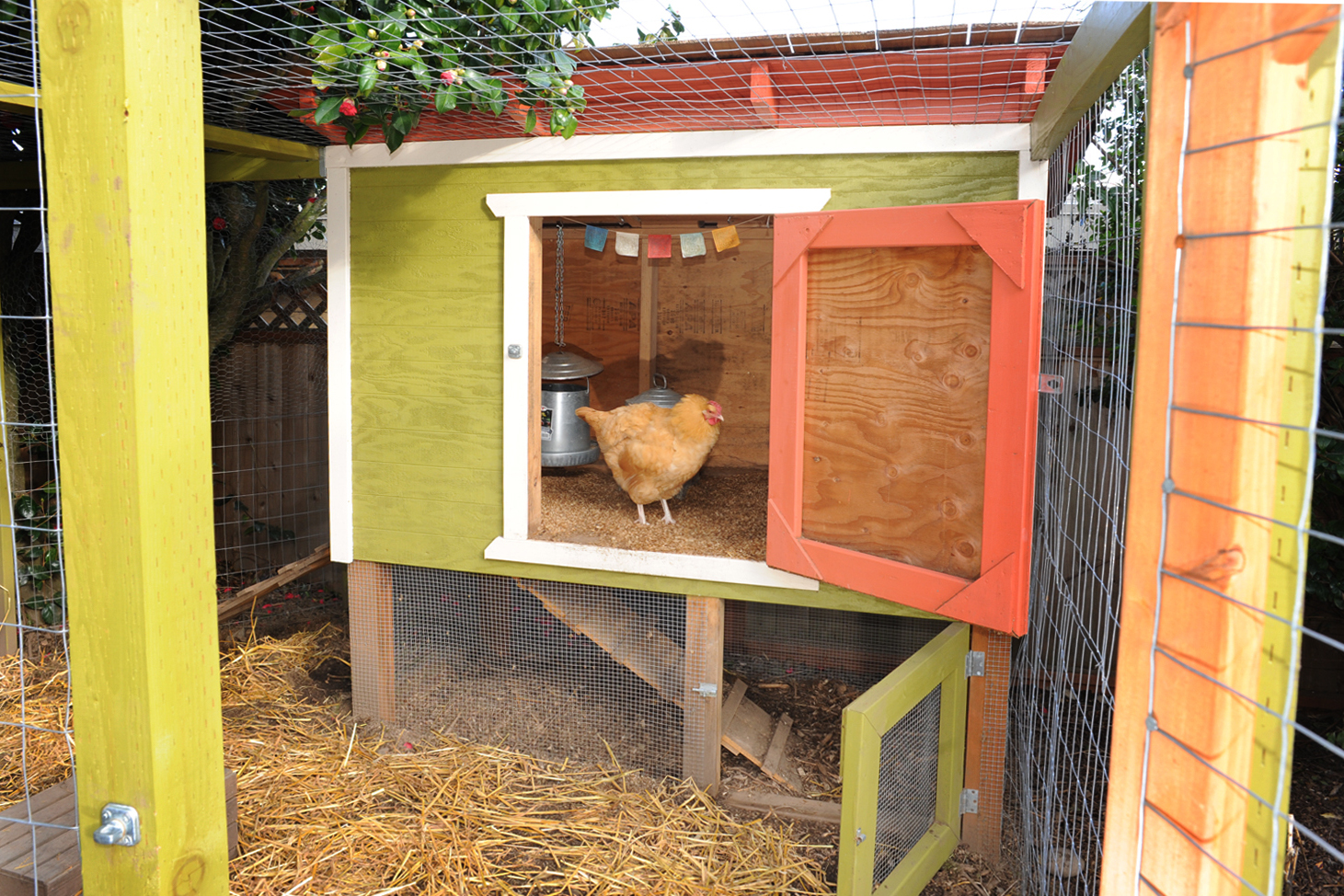 A backyard chicken sits in its coup in Seattle