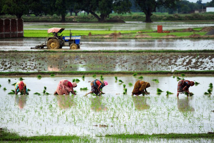 Indian female farmers sow paddy in a field
