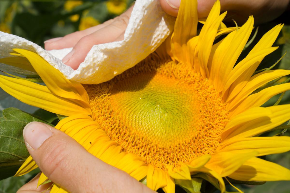 Paper-towel-pollen