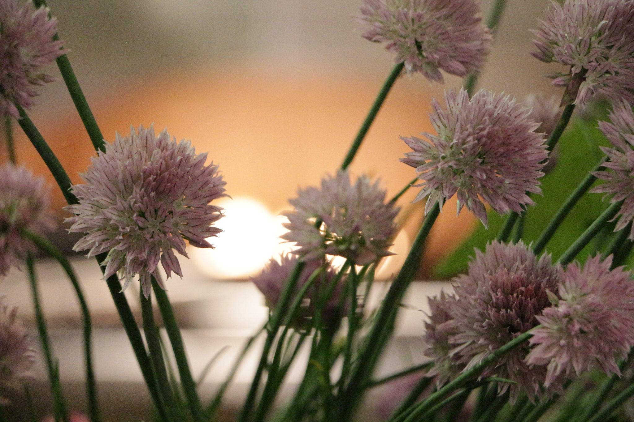 Chive blossoms are one of many spring edibles in the garden. Break these pom-poms apart and sprinkle them on salads, soups or use as a garnish on most any savory dish. (Eoban Binder/WFIU)