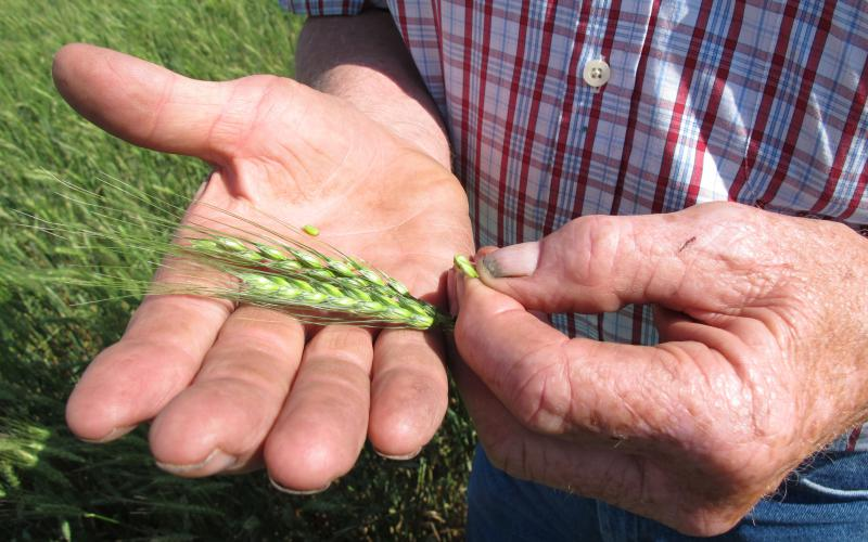 Nebraska wheat farmer Larry Florh inspects an unripened head of wheat. (GRANT GERLOCK / HARVEST PUBLIC MEDIA FILE PHOTO)