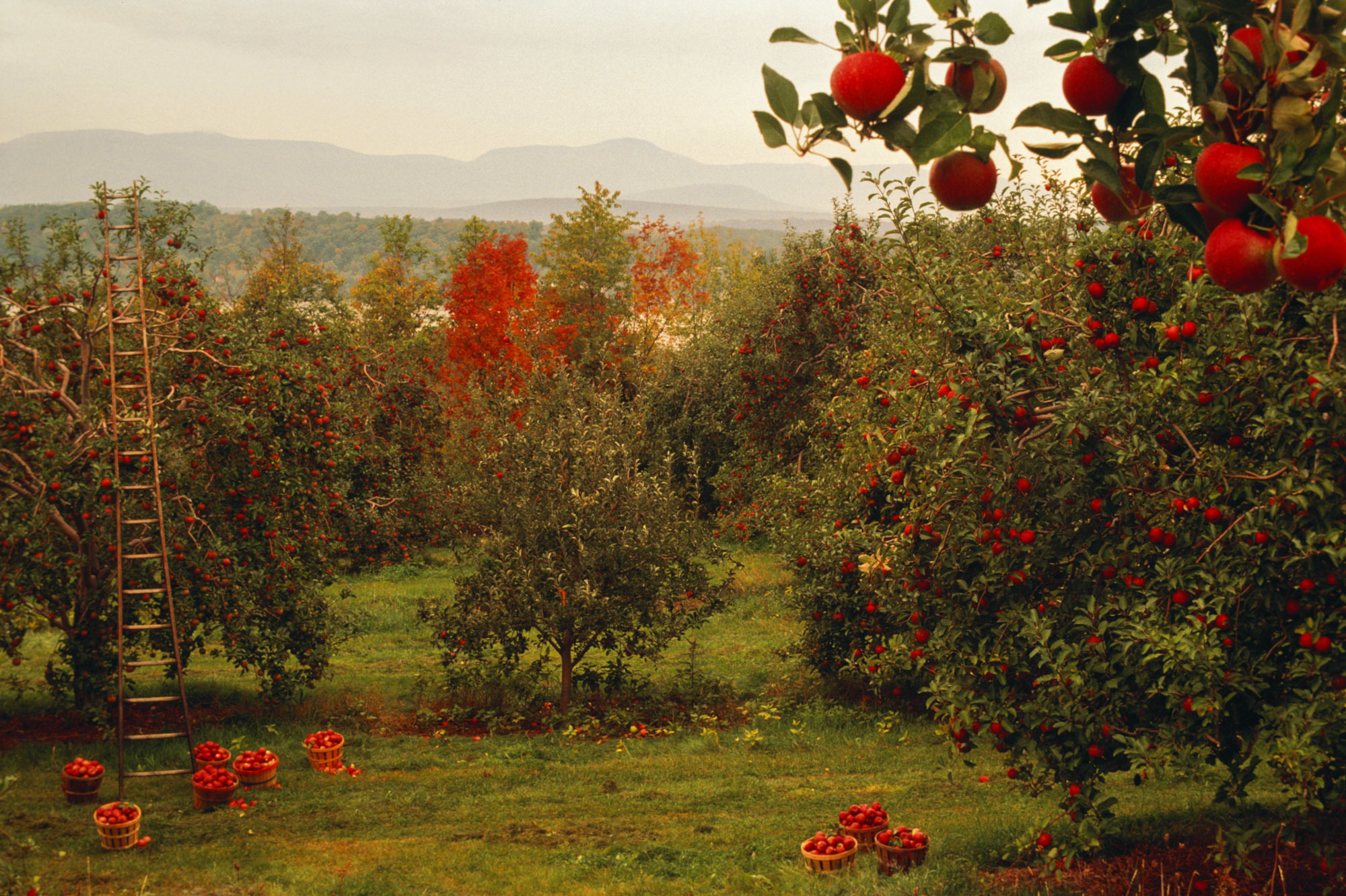 New technologies and a changing climate are altering the way apples are grown in places like New York's Hudson Valley and across the country. (Jake Rajs/Getty Images)