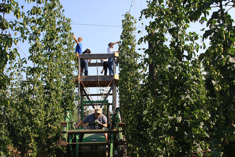 Crews from Indy High Bines and Upland Brewing Company join foces to havest hops. (Kayte Young/WFIU)