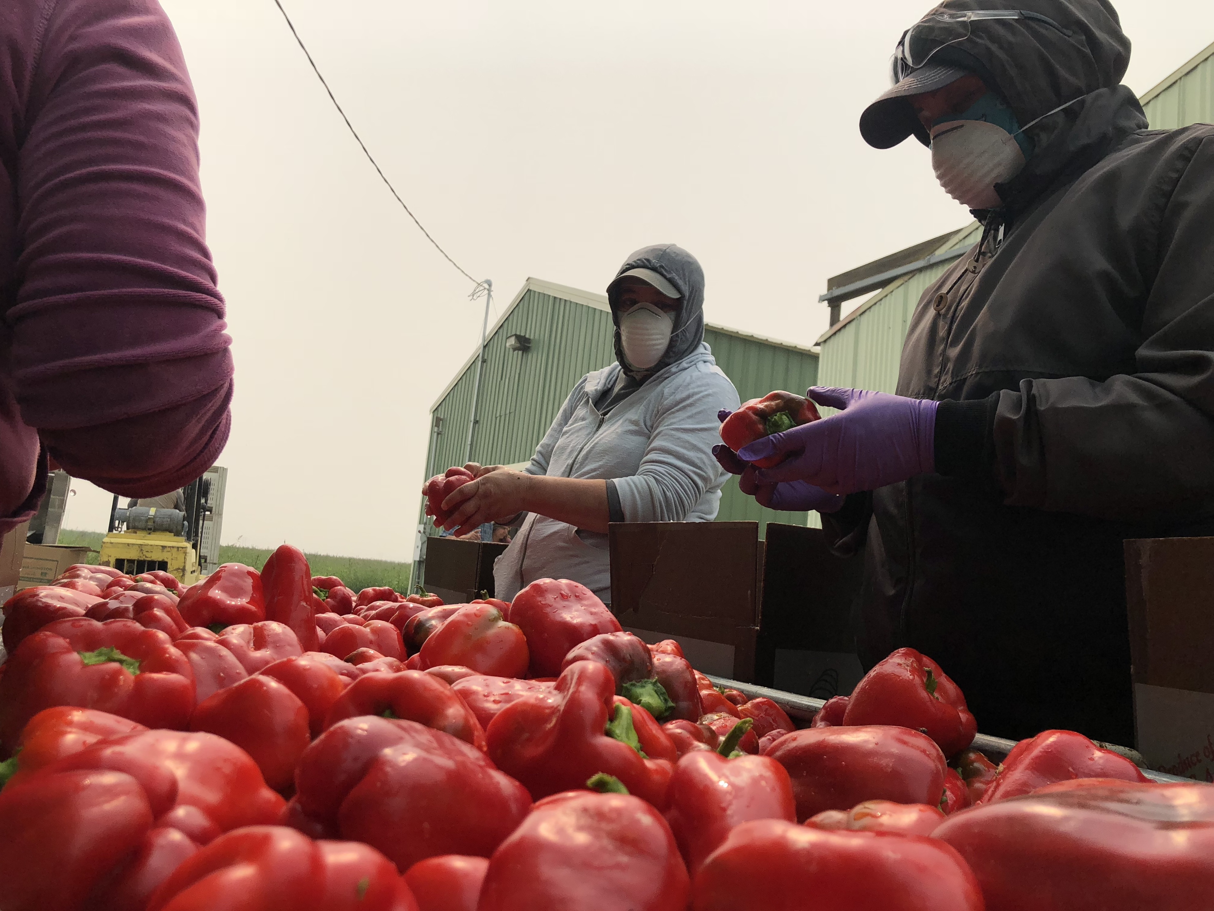 Workers in dust masks wash fresh red bell peppers in smoky conditions outside of Eltopia, Wash. Even with the masks, the smoke is still causing tight chests, itchy eyes and dry throats. (Anna King/Northwest News Network)