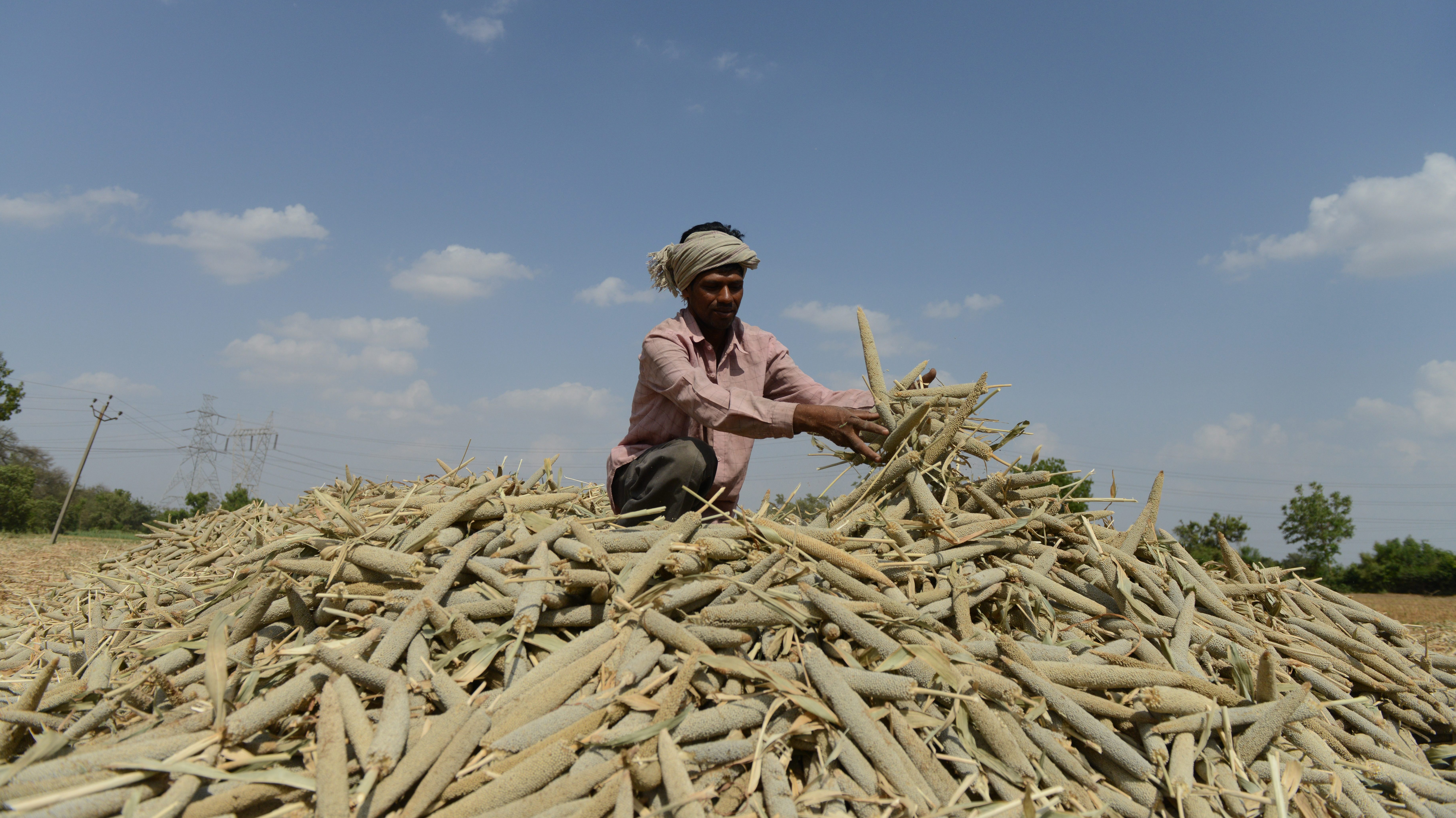 A farmer in India piles millet in a field. Grains such as millet and sorghum pack a powerful nutritional punch, but they are overlooked for calorie-laden commodity crops such as wheat or maize. (Sam Panthaky/AFP/Getty Images)