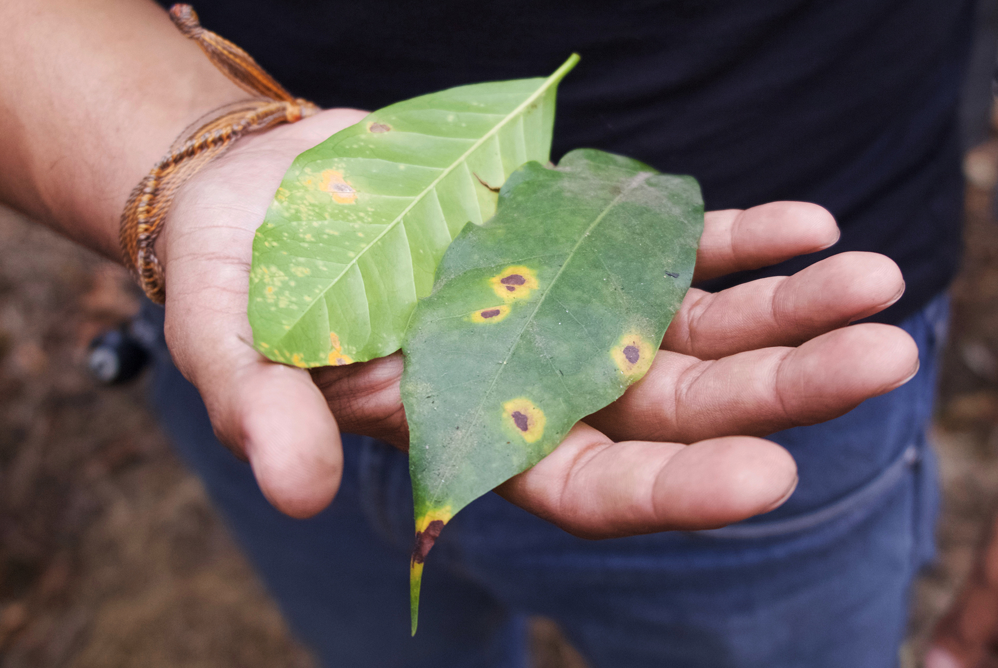 Leaves infected with coffee rust on Finca El Valle, outside Antigua, Guatemala. (Jeff Koehler for NPR)