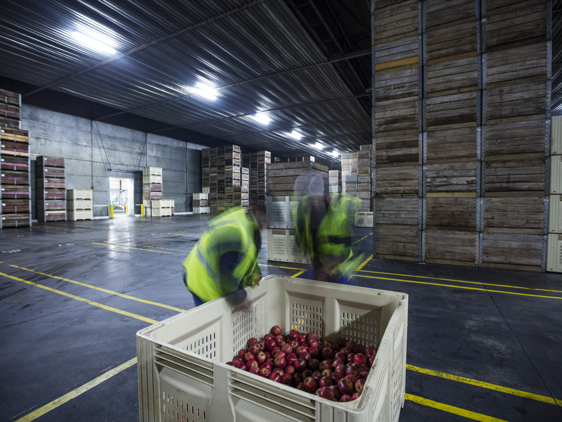 Different apples need different controlled storage environments. For example, Honeycrisps are sensitive to low temperatures so you can't put them in cold environments right after they've been harvested. And Fujiscan't takehigh carbon dioxide level. (Getty Images/Westend61)