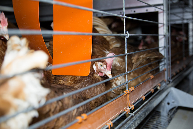 Since 2008, California has enacted several laws aimed at bettering animal welfare and food production, and inciting the frustration of major food producing state across the country (Farm Watch/Flickr)