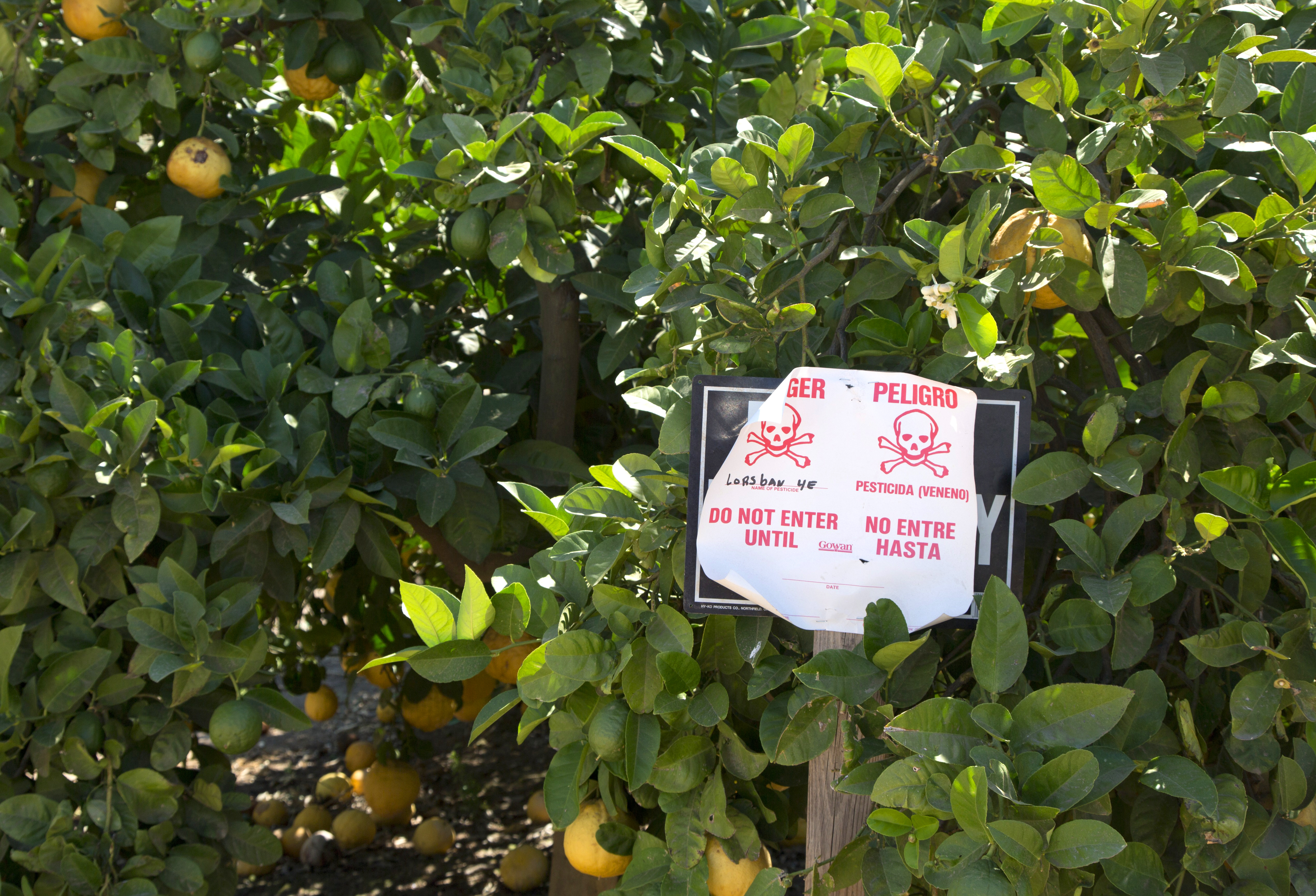 A pesticide warning sign in an orange grove warns in English and Spanish that the pesticide chlorpyrifos, or Lorsban, has been applied to these orange trees. (Jim West/Science Source)