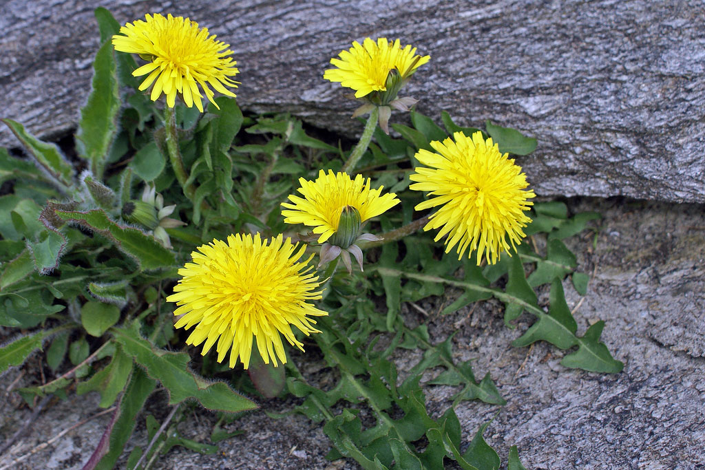 It's best to pick the leaves in the spring, before the dandelion flowers.